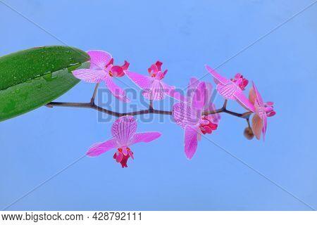 Orchid Flower. Phalaenopsis Pulcherrima. Pink Orchid Branch.pink Orchid Branch On Blue Background