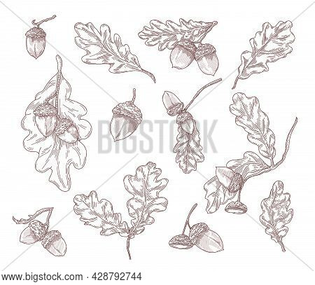 Oak Leaves, Branches And Acorns Hand Drawn Illustrations Set. Quercus Tree Elements In Engraving Vin