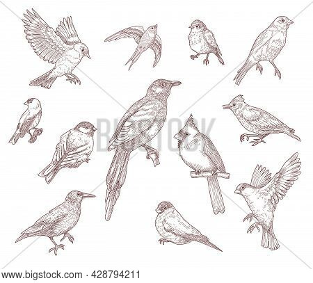 Set Of Bird Species Engraved Sketches Vector Illustration. Collection Of Hand Drawn Flying Cardinal,
