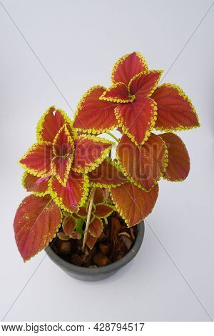 Colorful Leaves Pattern Plectranthus Scutellarioides, Coleus Or Miyana Or Miana Leaves Or Coleus Scu