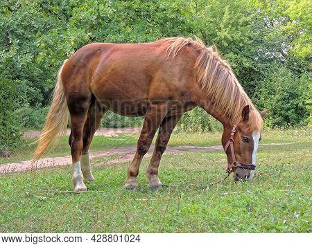 A Chestnut Horse (equus Ferus Caballus) Grazing In A Clearing
