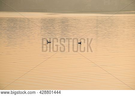 Stock Photo Of Two Duck Swimming In Lake Water Or Floating On Lake Water During Beautiful Orange Gol