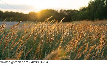 Selective Soft Focus Of Beach Dry Grass, Reeds, Sedge Stalks Blowing On The Wind At Golden Sunset Li