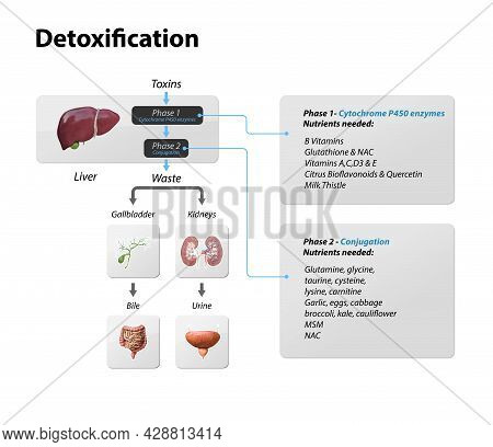 Toxins, Liver. Process Of Detoxification And Elimination. Enter, Exit, And Store Of Toxins In Humans