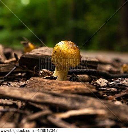 Small Inedible Forest Mushroom With Yellow Cap In The Forest, Close-up