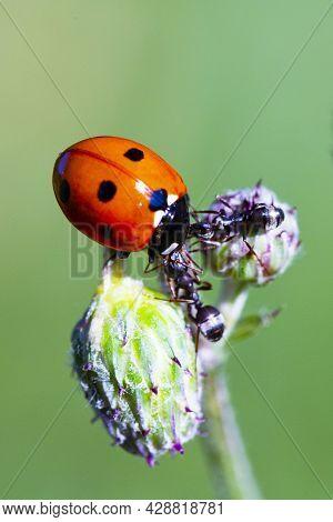 Ladybug And Ants On A Green Blade. Two Ants Banish A Ladybug. Macro, Small Depth Of Sharpness