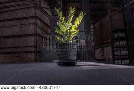 Zanzibar Gem (zamioculcas Zamifolia) Is An Ornamental Plant That Helps Filter Air And Helps Absorb T