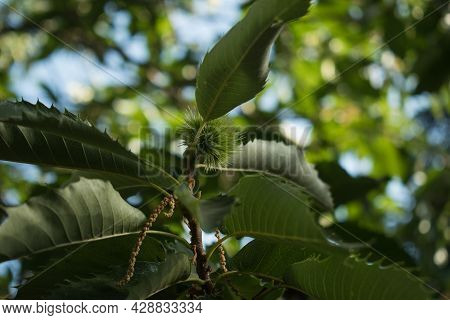 Fresh Chestnut With Close Husk. Branch Of Chestnut Tree With Fruits.castanea.chestnuts In Autumn