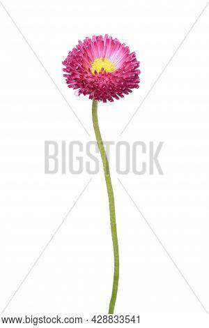 Bellis Perennis Flower Isolated On White Background