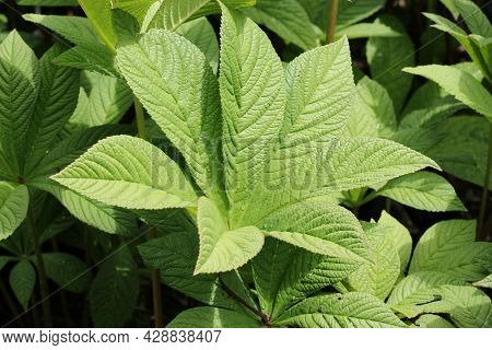Fresh Chestnut Leaved Rodgersia, Rodgersia Aesculifolia, Leaves Without The Bronze Colour On The Mar