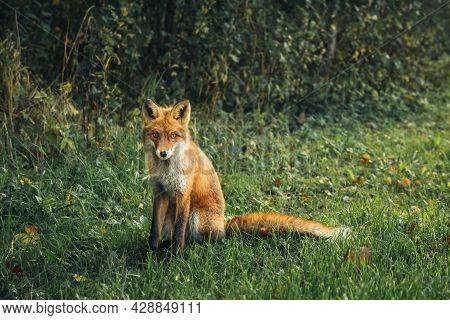 Wild Red Fox In The Forest In The Evening. Cute Animal In Nature Habitat, Vulpes Vulpes.