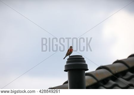 A Bluefish Sits On A Ventilation Pipe Of A House. Hemlocks Are Finches.