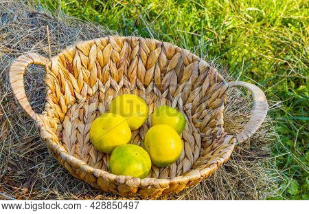 Citrus Fruits In Crates And Baskets, Ready For Delivery To The Market