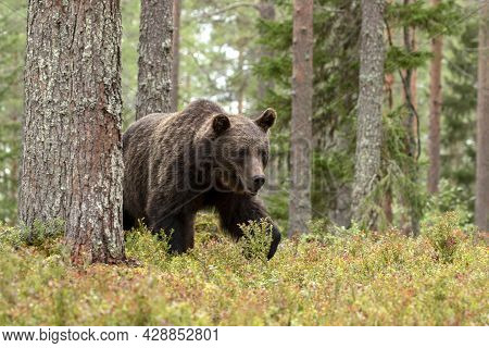 Majestic Wild Mammal, Brown Bear, Ursus Arctos In Coniferous Forest In Finland, Northern Europe