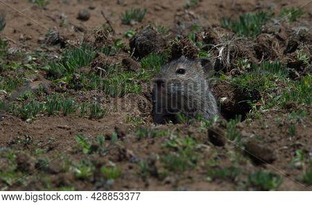 Closeup Portrait Of Big-headed Mole Rat (tachyoryctes Macrocephalus) Sticking Head Out Of Hole Bale