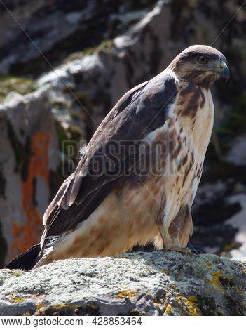 Closeup Side On Profile Portrait Of Tawny Eagle (aquila Rapax) Perching On Rocks Bale Mountains Nati