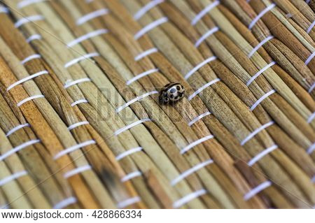 16-spot Ladybird - Tytthaspis Sedecimpunctata Is A Species Of Beetle In The Family Coccinellidae