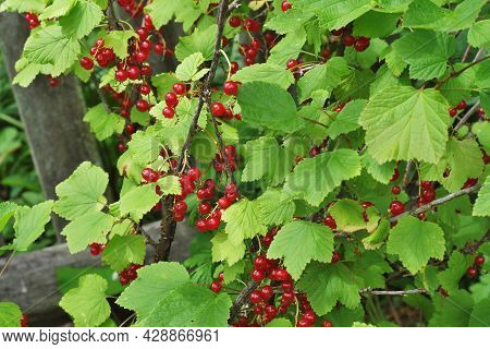 A Bush Of Red Currant With Brushes Of Juicy Ripe Berries On The Infield.