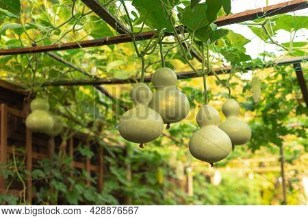 Group Of Birdhouse Gourds And Bitter Melon Hanging On Vines At Organic Backyard Garden Near Dallas,