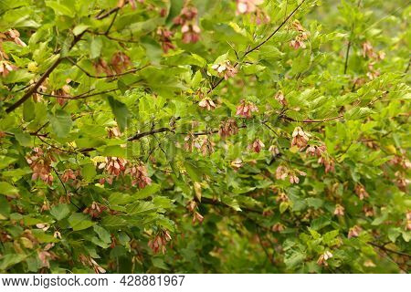Pink Seeds On A Background Of Green Foliage, Tatar Maple, Chernoklen Acer Tataricum, Background