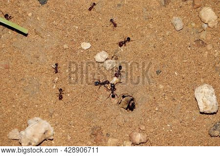 Closeup Photo Of Ants Picking Up A Grain Of Wheat And Bringing It To The Anthill Or Ant Colony