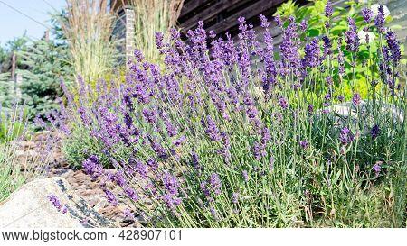 Lavender In The Garden In A Mediterranean Style. Lavender Bushes In Bloom. Purple Lavender Flowers S