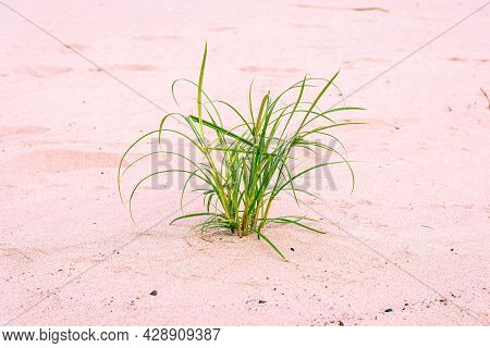 Bush Of Green Grass On Pink Sand At Noon, No Shadow