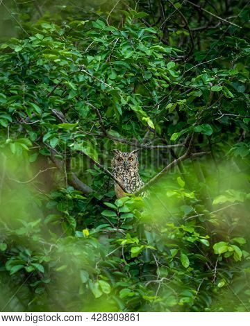 Indian Eagle Owl Or Rock Eagle Owl Or Bengal Eagle-owl Large Horned Owl Perched On Natural Green Tre
