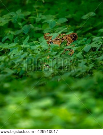 Wild Male Leopard Or Panther With Eyes Only Hiding In Natural Green Grass In Monsoon Season Safari A