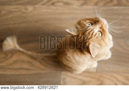 Domestic Cat With Ginger Fur Is Sitting On The Floor After Grooming And Trimming During Summer, Anim