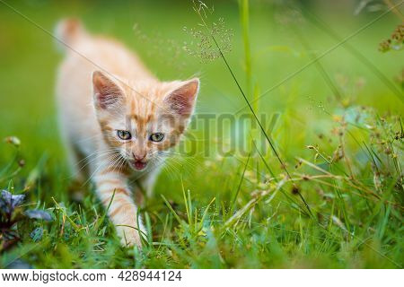 Portrait Of A Red Kitten In The Garden. Red Kitten With Green Eyes And With Big Ears. Animal Baby Th