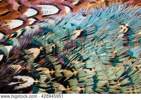 Colored Pheasant Feathers With A Visible Texture. Background