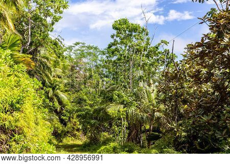 Lush Tropical Vegetation With Endemic Palm Trees At Glacis Noire Nature Trail Leading To The Highest