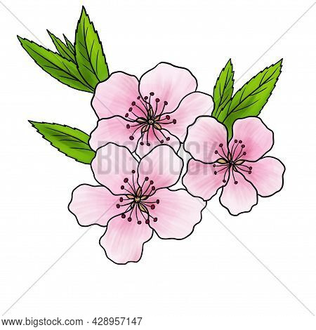 Drawing Flower Of Almond Tree, Prunus Amygdalus, Isolated At White Background, Hand Drawn Illustrati