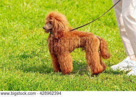 Orange Poodle Near The Girl During A Walk In The Park. Brown Poodle On A Leash