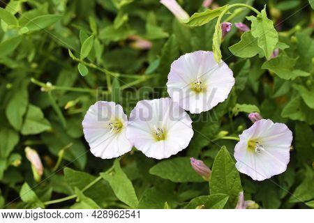 White Flowers Of Bindweed Field Convolvulus Arvensis