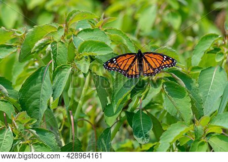 Closeup Of A Monarch Butterfly Resting On Green Plants - Michigan