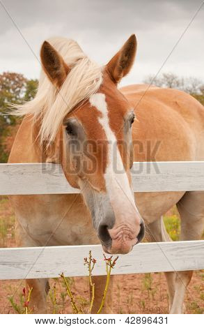Cute Belgian Draft horse looking at the viewer over a white board fence