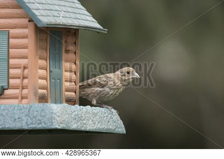 A Cute Song Sparrow Is Perched On A Bird Feeder In North Idaho.