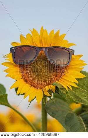 Bloomed Sunflower With Sunglasses In A Field Of Sunflowers, On A Sunny Summer Day. Yellow Sunflower