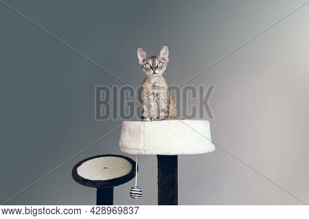 Devon Rex Cat Is Sitting On Top Of Cat Scratching Post Inside A Comfortable Nest Bed; Kitty Feeling