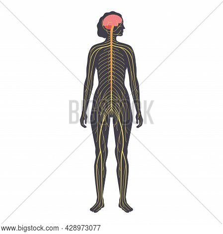 Human Nervous System, In Female Silhouette. Network Of Nerves Cns And Pns Systems. Cerebellum, Brain