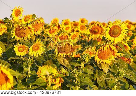 Agricultural Field With Yellow Sunflowers. Morning Summer Rural Scene. Oil Manufacturing