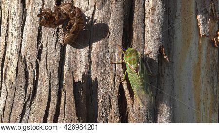 A Newly Emerged Green Cicada On A Gum Tree