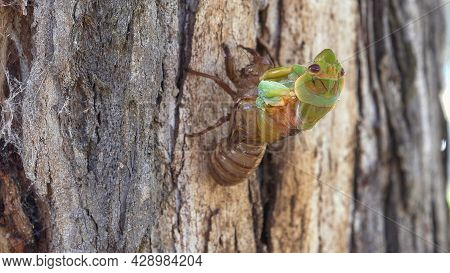 Side View Of A Cicada Emerging From Its Shell On A Gum Tree At Ebor