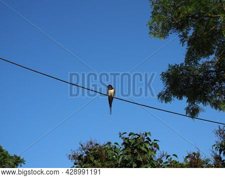 Swallows Sitting On Wires And Rest Against The Blue Sky. Swallow Bird In Natural Habitat.