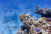 coral reef with soft and hard corals at the bottom of red sea in egypt - underwater photo poster
