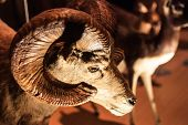 A stuffed ram in the museum. See my other works in portfolio. poster