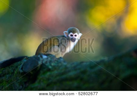 Squirrel Monkey - Saimiri Sciureus