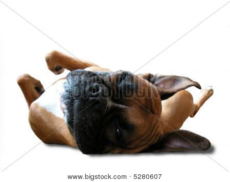 Boxer Sleeps On His Back